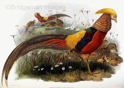 golden-pheasants-by-joseph-wolf