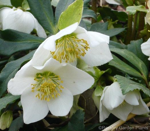 helleborus-niger