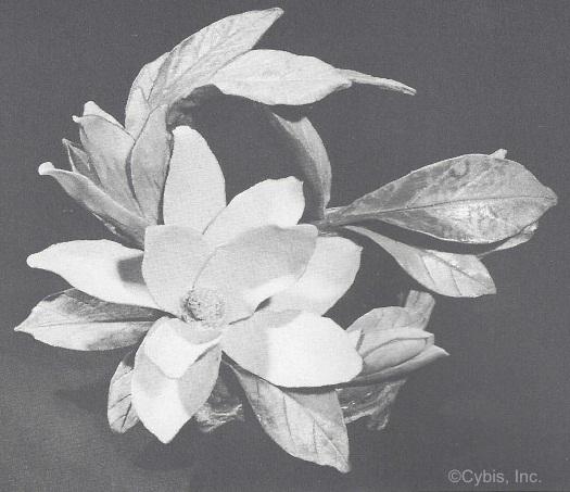 Magnolia in 1965 Cybis catalog